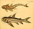Naturgeschichte in Bildern mit erläuterndem Text (Taf. CXIX) (6058679381).jpg