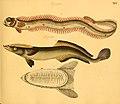 Naturgeschichte in Bildern mit erläuterndem Text (Taf. XLV) (6059211518).jpg