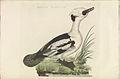 Nederlandsche vogelen (KB) - Mergellus albellus (362b).jpg