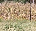 Nelson's Sparrow, McCool's Pond, Indiana, September 29, 2012 (8039551253).jpg