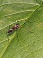 Nematocerca indet. (Diptera) - Pilzmücke ? (8374029332).jpg
