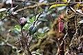 Nepenthes densiflora (8187877813).jpg