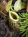 Nepenthessumatra7.jpg