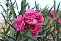 Nerium oleander pink flower, Alex 005.jpg