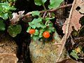 Nertera granadensis Costa Rica.jpg