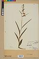 Neuchâtel Herbarium - Cephalanthera rubra - NEU000046844.jpg