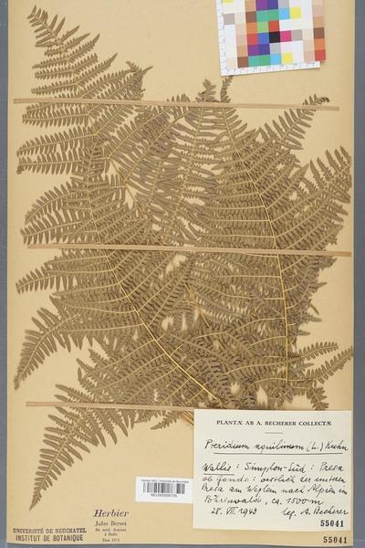 File:Neuchâtel Herbarium - Pteridium aquilinum - NEU000000735.tiff