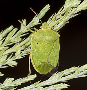 Hologenome theory of evolution - Green Vegetable Bug (Nezara viridula) in Fronton, France