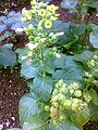 Nicotiana rustica - 4850.jpg