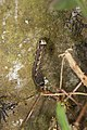 Noctuidae caterpillar (41243935791).jpg