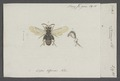 Nomia - Print - Iconographia Zoologica - Special Collections University of Amsterdam - UBAINV0274 045 05 0026.tif
