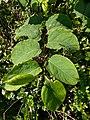 Noordwijk - Japanse duizendknoop (Fallopia japonica).jpg