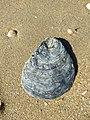 Noordwijk - Platte oester (Ostrea edulis).jpg
