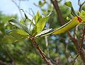Northern Bayberry Leaf Cluster 2420px.jpg