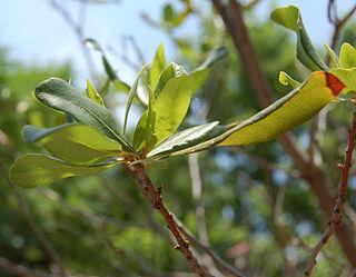 <i>Myrica pensylvanica</i> species of plant