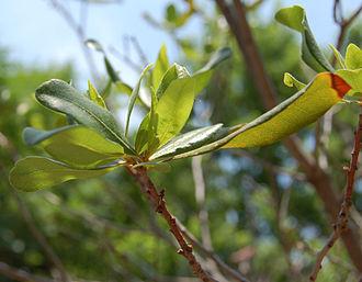 Myrica pensylvanica - Image: Northern Bayberry Leaf Cluster 2420px