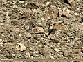 Northern Pintail (Anas acuta) (23205563264).jpg