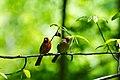 Northern cardinal (41419803544).jpg