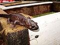 Northwestern salamander.jpg