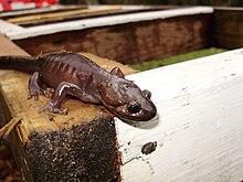 Northwestern salamander - Wikipedia