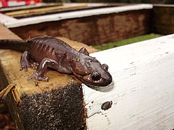 Ambystoma gracile