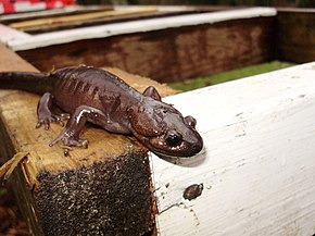 Description de l'image Northwestern salamander.jpg.