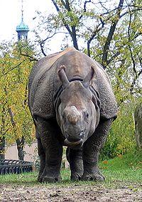 Gyan, czteroletni samiec nosorożca indyjskiego w warszawskim ZOO