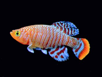 Killifish - A bluefin notho killifish, Nothobranchius rachovii, from East Africa