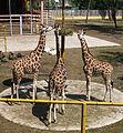 Nyíregyháza Zoo, giraffe-2.jpg