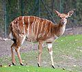 Nyala Tragelaphus angasii Tierpark Hellabrunn-20.jpg