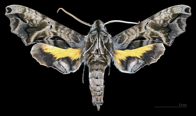 Sưu tập Bộ cánh vẩy  - Page 43 640px-Nyceryx_alophus_MHNT_CUT_2010_131_Cochoeiras_de_Macacu%2C_Rio_de_Janeiro%2C_male_dorsal