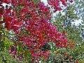 Nyctaginaceae - Bougainvillea buttiana-001.JPG