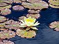 Nymphaea - candida (kleine Seerose) (9067275295).jpg