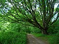 Oak Tree, Lambourne Lane, Titty Hill - geograph.org.uk - 864920.jpg