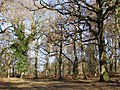 Oaks within Castle Piece, Roe Inclosure, New Forest - geograph.org.uk - 328040.jpg