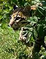 Ocelot Santago Leopard Project.jpg