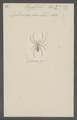 Ocyale - Print - Iconographia Zoologica - Special Collections University of Amsterdam - UBAINV0274 068 08 0003.tif