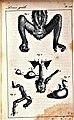 Oeuvres complètes de Buffon Plate 464 Loris tardigradus.jpg