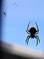 Okanogan-Orb weaver spider-001.jpg