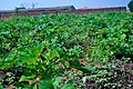Okro or okra plant.jpg