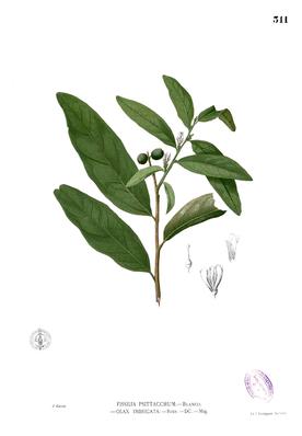 Olax imbricata, Illustration.