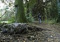 Oldenzaalseveen SAM 1757 driemarken steen 19.20.32 losser-de lutte-lonneker 10-2013 steen opgegraven en 3-stammige berk gekapt.JPG