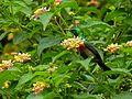 Olive-bellied Sunbird (Cinnyris chloropygius) (7083304137).jpg