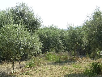 Battle of the Olive Grove of Kountouras - Image: Olivenhain