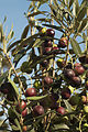 Olives (Cipressino) CL JWeber (22852510460).jpg