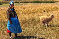 On Lake Titicaca…our home stay village of Luquina…the first of our morning chores…bring the sheep to pasteur…our host mother (8444494392).jpg