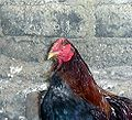 One eyed rooster.JPG