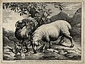 One sheep drinking from a stream as another eats from an oak Wellcome V0021697.jpg