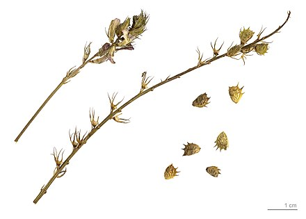 Details about  /100 Onobrychis seeds,Medicinal Herb,Onobrychis viciifolia,Culinary Herb,SW45