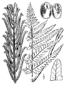 Onoclea struthiopteris BB-1913.png